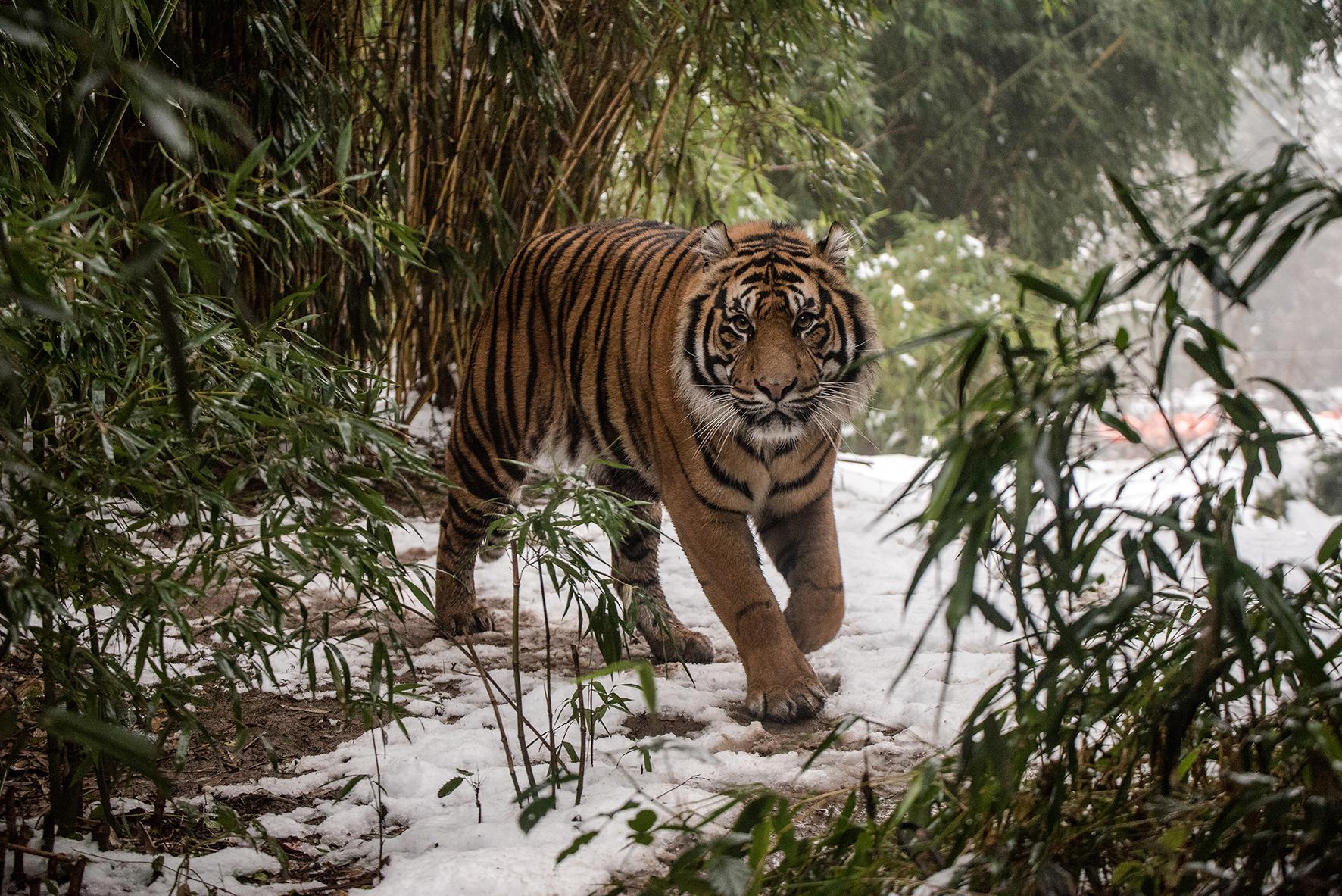 Sumatra-Tiger im Schnee - (Foto: Susi Fischer)
