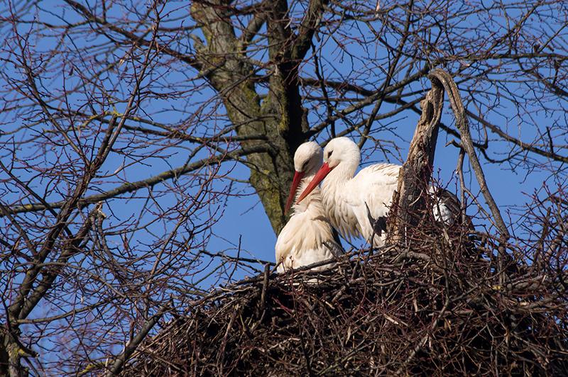 Weißstörche beziehen bereits ihre Nester im Zoo Heidelberg