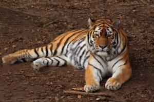 Landau – Tiger beobachten, Ziegen bürsten, Zootiere modellieren –  Tolles Ferienprogramm in den Osterferien