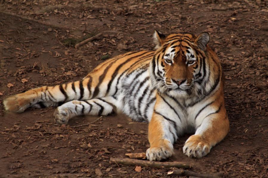Tiger1 (002)