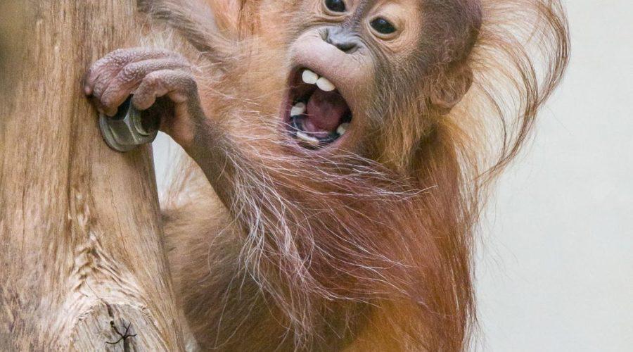 Heidelberg – Orang-Utans aus dem Zoo packen die Koffer