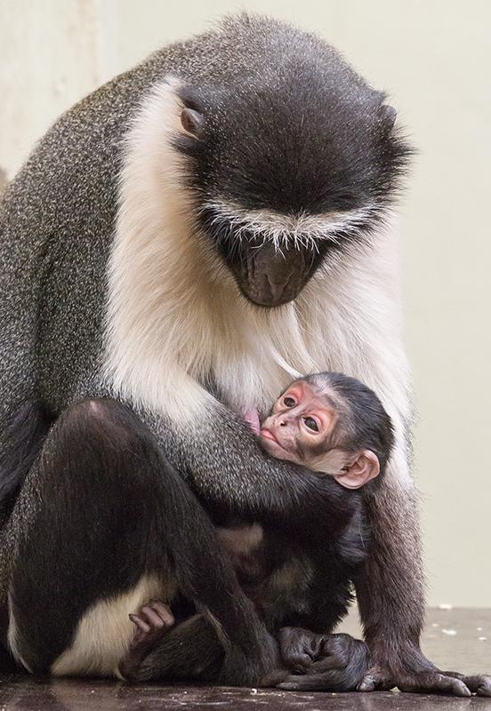 Roloway-Meerkatze Mutter Adriana mit Kind. Foto: Heidrun Knigge/Zoo Heidelberg