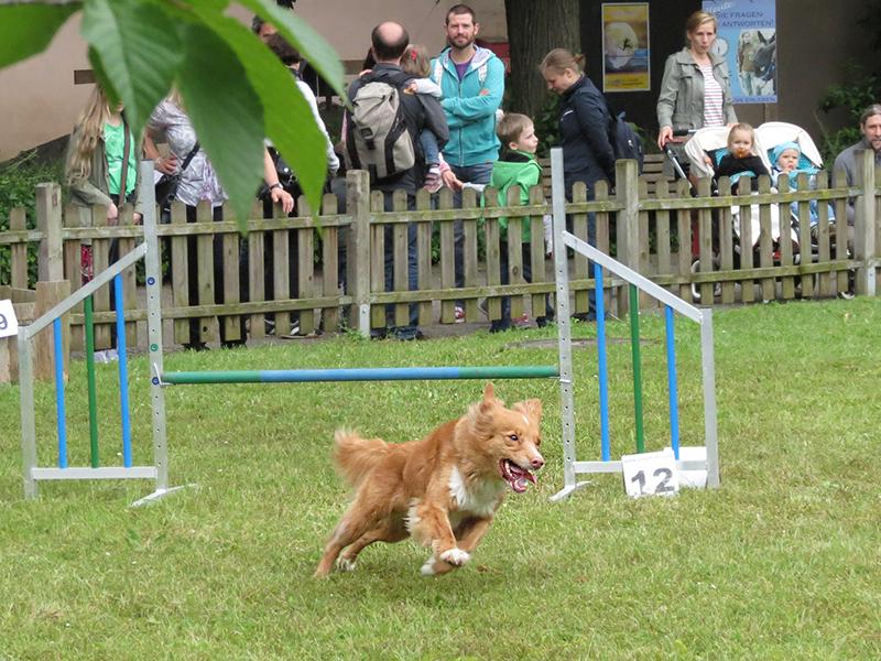 """Bildnachweis: Am 4. Juni beim """"Tag des Hundes"""" im Zoo Heidelberg erfahren Zoobesucher Spannendes rund um die treuen Vierbeiner. Foto: Zoo Heidelberg"""