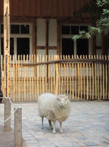 Quessant-Schaf Zoo Landau 1 (002)