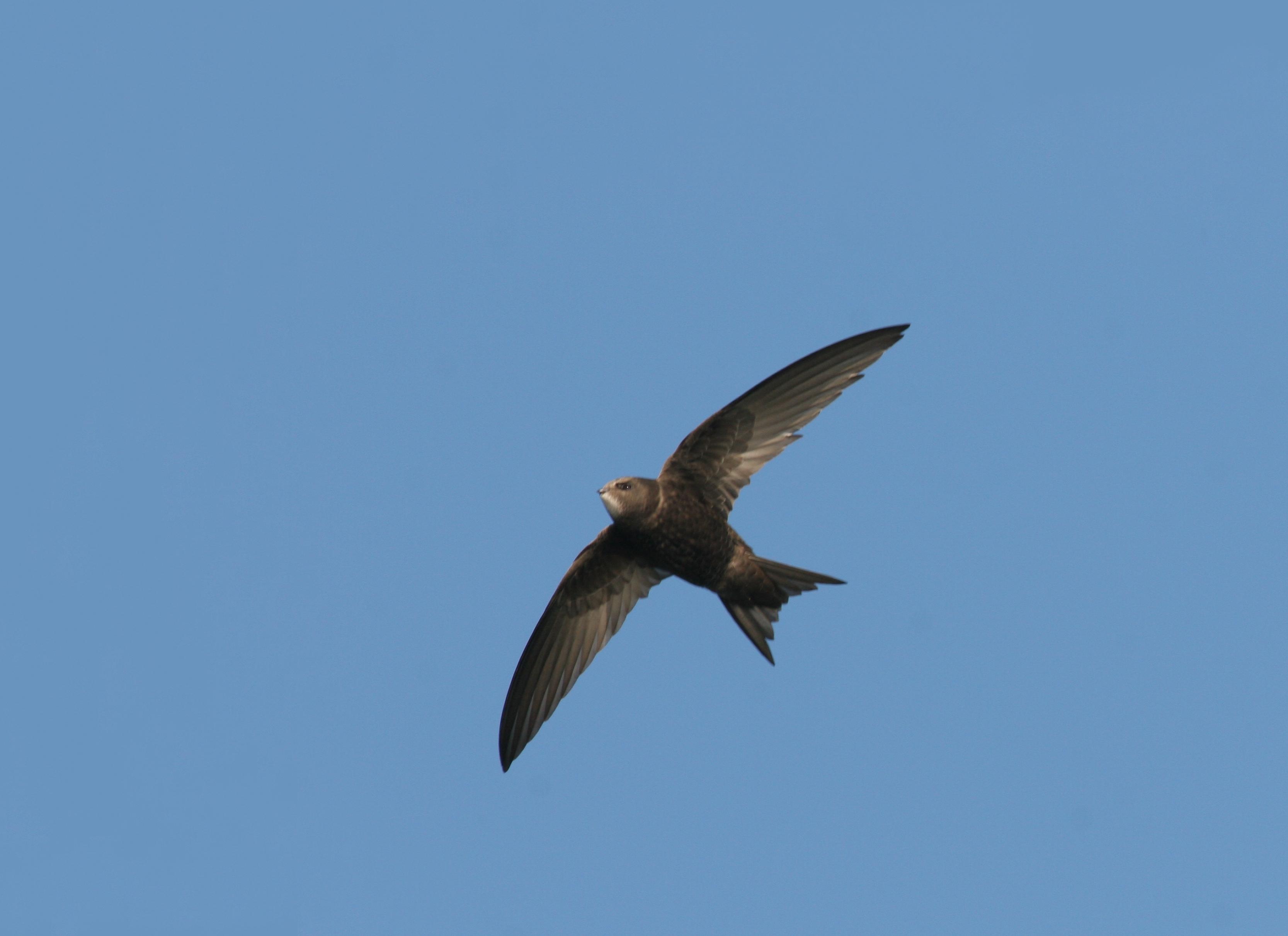 Mauersegler haben mit 40 Zentimetern eine deutlich größere Flügelspannweite als Schwalben. Foto: NABU/Fotonatur