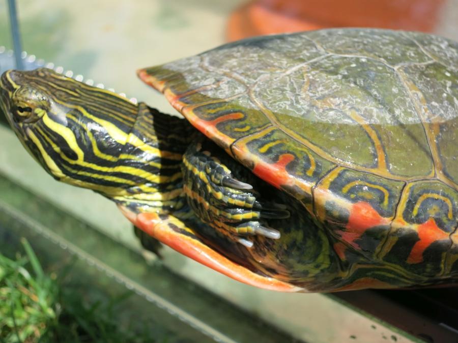 Zierschildkröte
