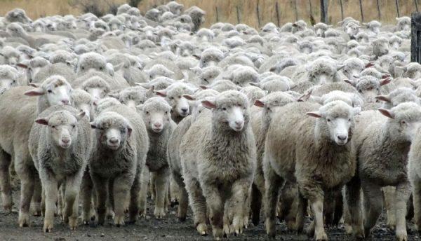 Rhein-Pfalz-Kreis – Vier Schafe auf eine Weide in Lambsheim  getötet