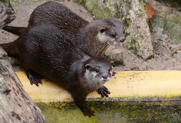 Heidelberg – Verliebte Otter im Zoo Heidelberg