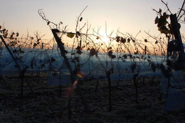 Neustadt – Mehrere Pfälzer Weingüter haben Eisweine gelesen