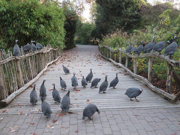 Heidelberg – Perlhuhn-Rekord im Zoo Heidelberg! Wie viele Tiere hat der Zoo insgesamt?