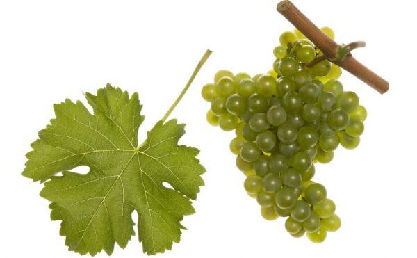 Neustadt/Wstr – Der »Spaßwein« findet immer mehr Liebhaber  –  Pfalzwein erklärt Sauvignon Blanc zur »Rebsorte des Jahres«
