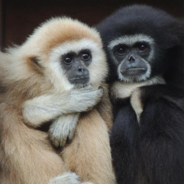 """Landau – Gibbonmütter werden getötet, um Nachwuchs zu verkaufen – Zoo Landau in der Pfalz ist erneut Platinsponsor des """"Zootier des Jahres 2019"""" und hilft so Gibbons"""