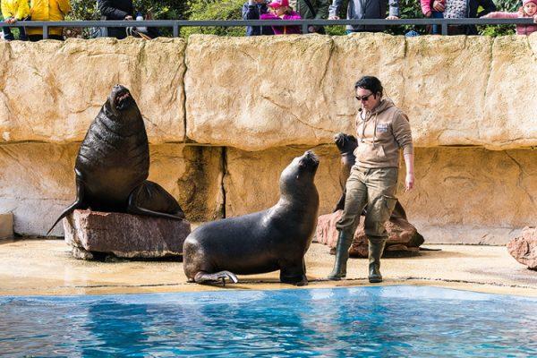 Heidelberg – Neuigkeiten bei den Mähnenrobben im Zoo Heidelberg – Freud und Leid liegen manchmal nah beieinander
