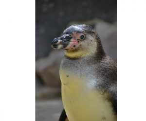 """Landau – """"Ein Jahr zum Schutz von Pinguin, Otter und Co."""" – Öffentliche Zooführung am 01.März"""