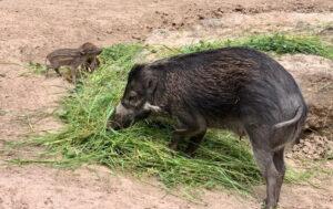 Landau – Erste erfolgreiche Nachzucht von hochbedrohten Visayas-Mähnenschweinen im Zoo Landau in der Pfalz
