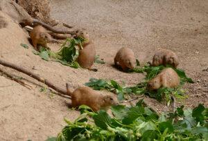 Heidelberg – Tierische Doppelgänger im Zoo Heidelberg?! Von wegen – Erdmännchen ist nicht gleich Präriehund!