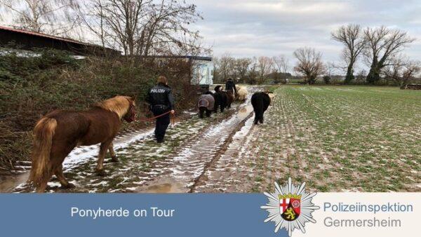 Germersheim –  Gute Nachrichten aus Westheim – Entlaufene Ponys wohlbehalten wieder zurück