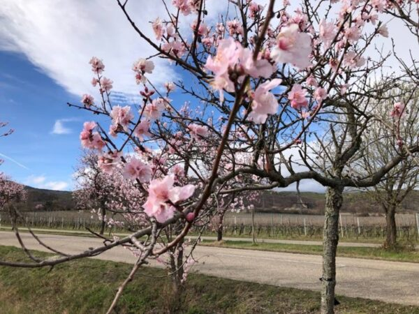 Neustadt –  FDP-Spitzenkandidatin Daniela Schmitt: Mandelbäume blühen auch nächstes Jahr