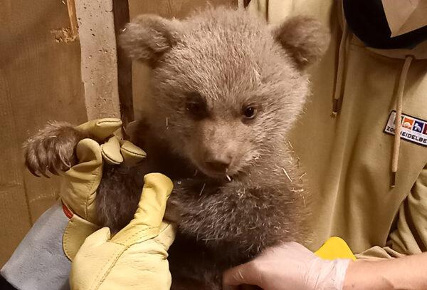 Heidelberg – Bär Martins Vermächtnis ist pelzig und noch klein! Erste Fotos vom Bären-Nachwuchs im Zoo Heidelberg