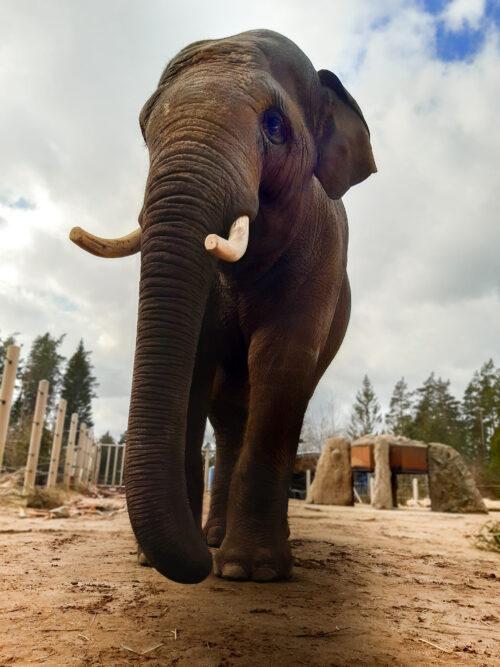 Heidelberg – Elefanten-WG im Zoo Heidelberg vergrößert sich! Neuer Mitbewohner zieht zu Tarak, Ludwig und Yadanar